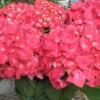 Hydrangeas, Hanging Baskets and so much more are not that far off!